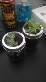 Mason Jar Terrariums 1